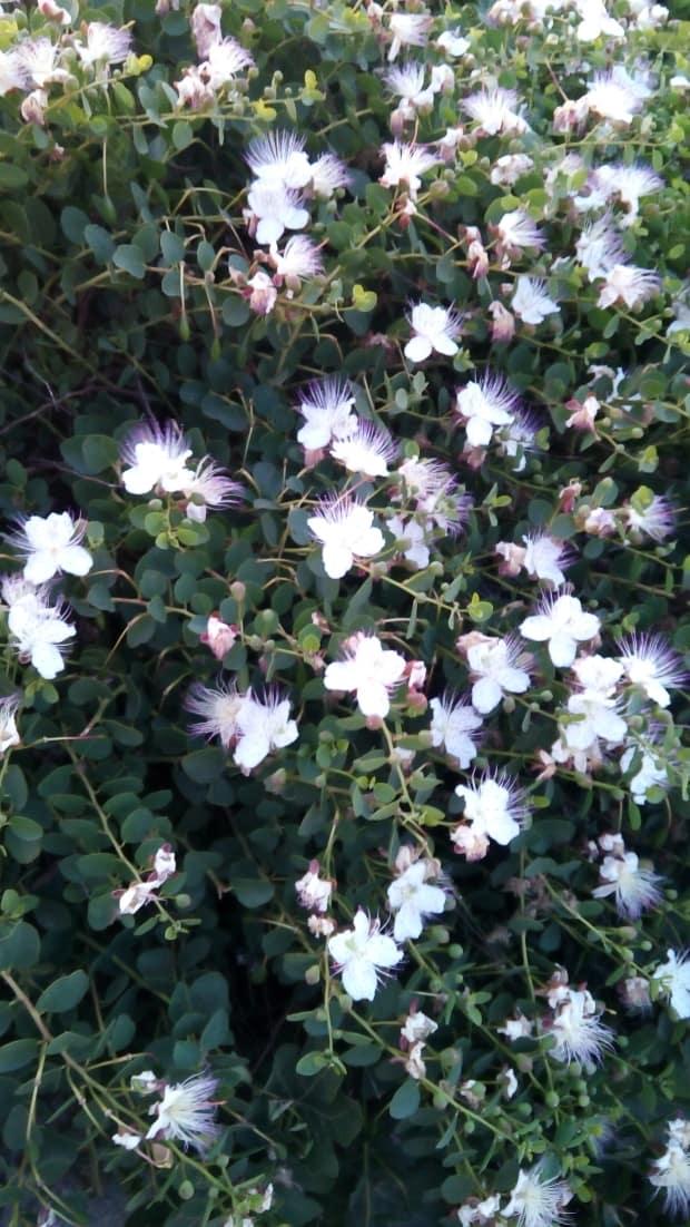Máltai cégalapitás - kapri bogyó virága